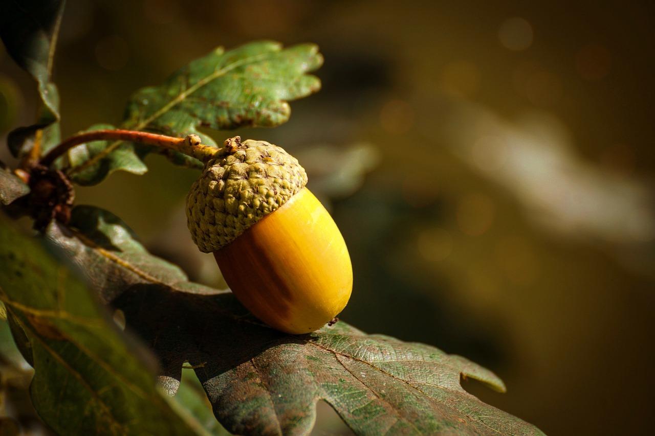 acorn-3700512_1280