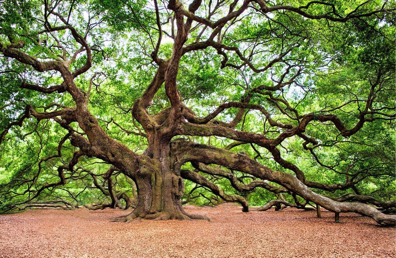 oak-tree-2018822_12805e8266e9a48e3